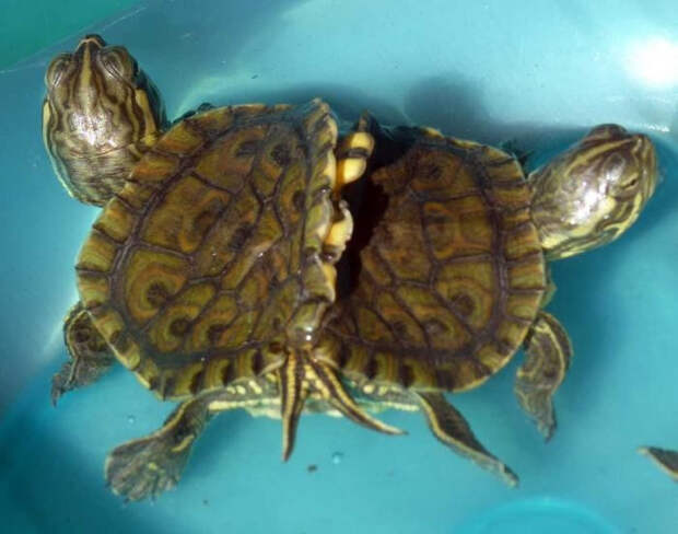 На Кубе нашли живых черепах - сиамских близнецов