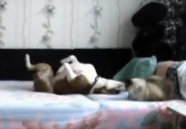 Псу запрещено находиться на кровати. Но стоило хозяйке уйти, как началось нечто безумное