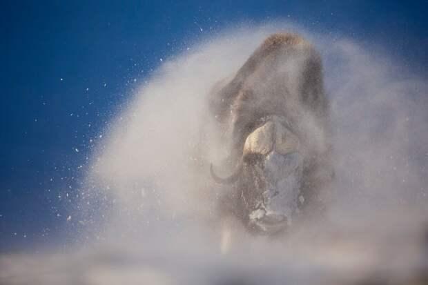 Овцебык – один из древнейших быков на нашей планете: он жил в Арктике еще в эпоху мамонтов. Однако потепление климата и расселение человека вытеснило этих мощных животных из привычных мест обитания © Мишель Оултремон