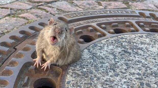 крыса, смотрящая в камеру из вентиляционного люка