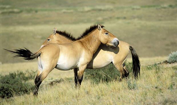 Очаровательный жеребенок поможет возродить лошадей Пржевальского