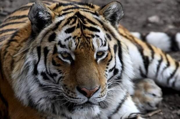 Знаменитый тигр Амур во второй раз стал отцом