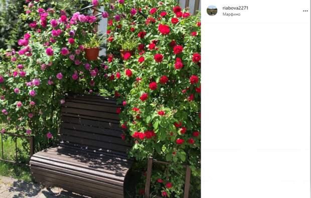 Фото дня: в Марфине лавочка «утонула» в розах