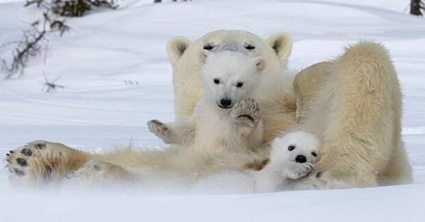 Привет, медведи! Фотографу посчастливилось сделать потрясающие снимки белой медведицы с медвежатами