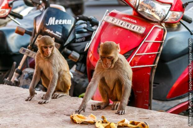Индийские гопники
