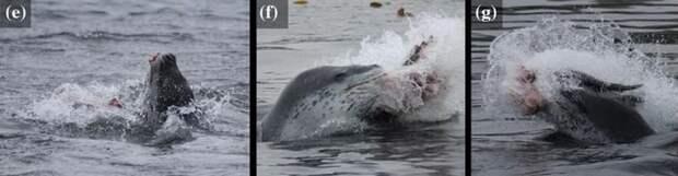 Охота морского леопарда