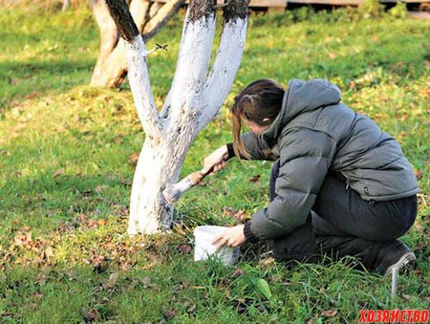 Как правильно белить деревья