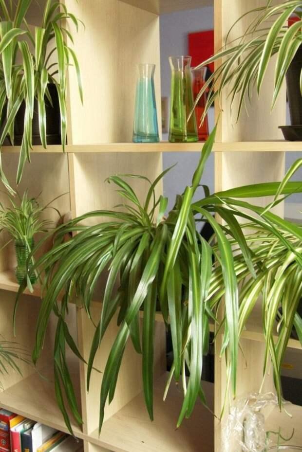 Хлорофитум хохлатый (Chlorophytum comosum)
