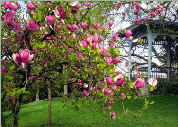Магнолия - красота и экзотика в вашем саду