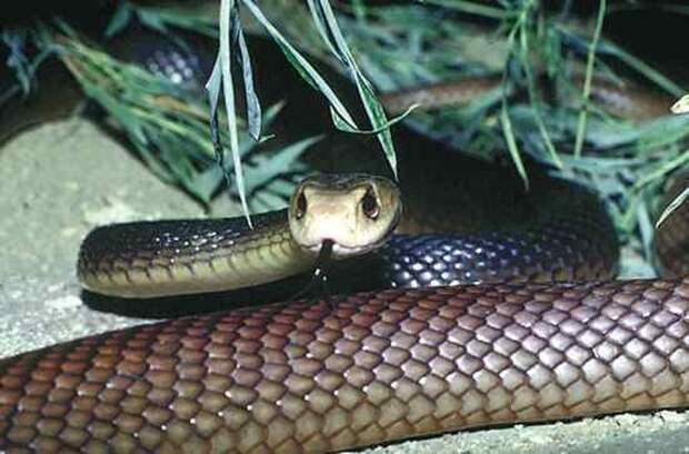 4. Тайпан   змеи, самые ядовитые, топ, топ-10