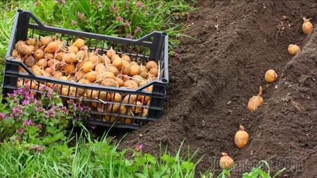 12 способов посадки картофеля: традиционные и новые
