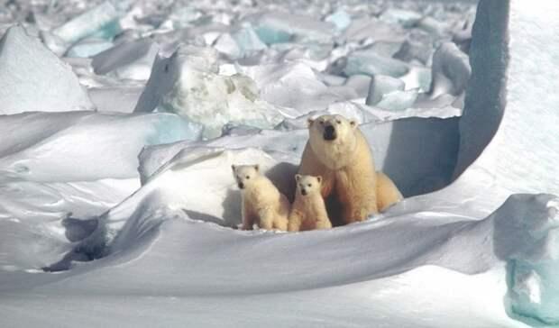 Российские ученые отправятся вАрктику для изучения белых медведей