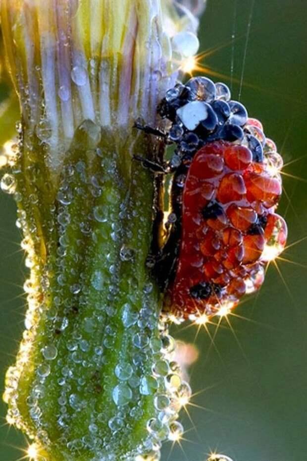 Одних только божьих коровок насчитывается более 4000 видов жуки, интересное, красивое, насекомые