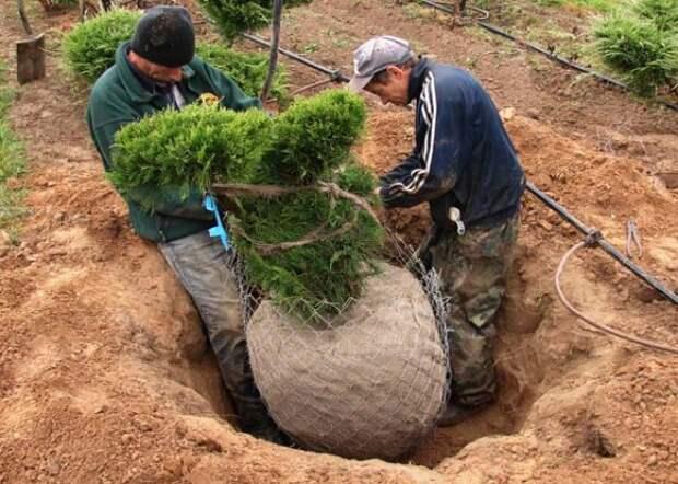 Особенности пересадки взрослых плодовых деревьев