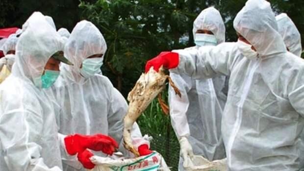 Птичий грипп обнаружили на птицефабрике в Самарской области
