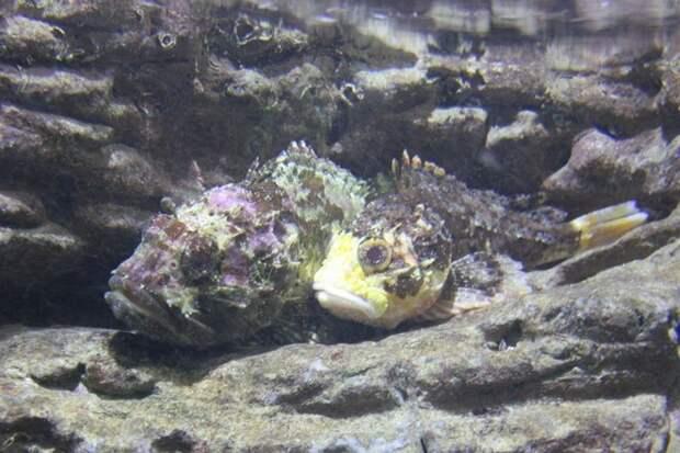 Черноморская скорпена-ёрш, или черноморский морской ёрш, или скорпида, или черноморская скорпена  (лат. Scorpaena porcus)