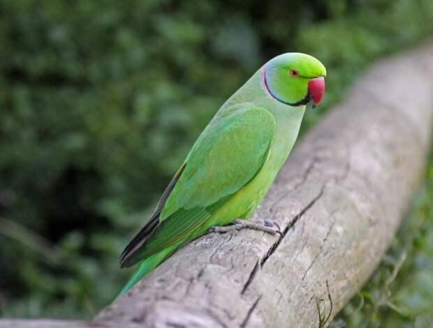 Попугай Крамера в лесах Британии