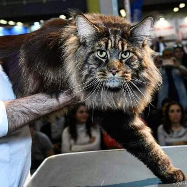 Сам Баривель не слишком восторжен таким вниманием к своей персоне. Он тот ещё скромник длина, домашний питомец, животные, кот, красавчик, милота, рекорд гиннесса