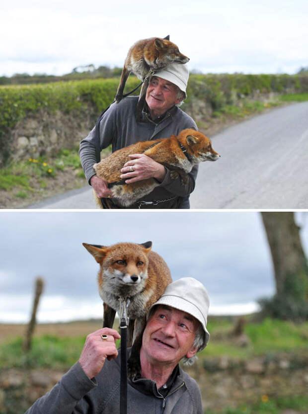 Мужчина спас двух лисиц, и теперь они отказываются покидать его Счастливый конец, животные, спасение