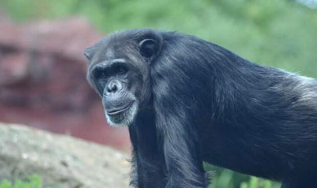 Вопрос на засыпку: зачем обезьянам нужна кость посреди сердца?