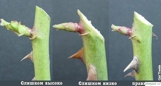 О том, как правильно обрезать розы: 2