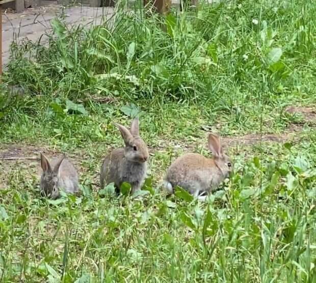 В Серебряном Бору поселилось семейство кроликов