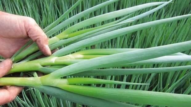 Посев под зиму лука-батун считается самым простым