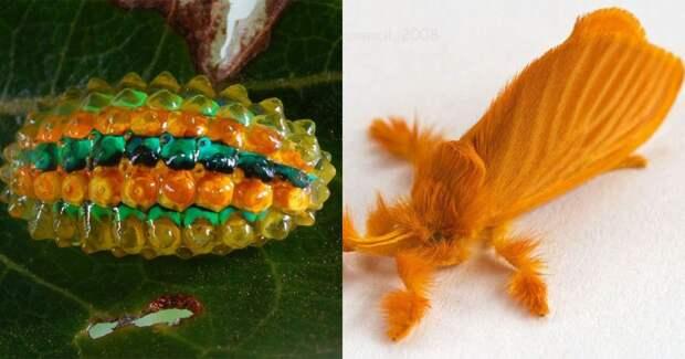 7 классных фото бабочек Acraga coa, гусеницы которых похожи на мармеладок