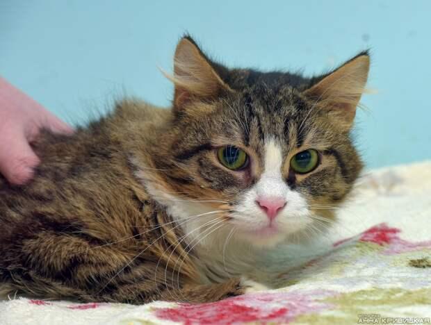 Ищет родных красивейший кот с независимым характером, он особенно подойдёт работающим людям.