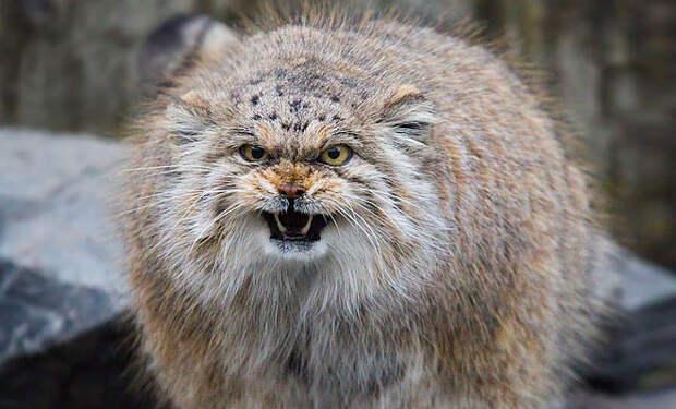 Самые опасные и непредсказуемые породы кошек