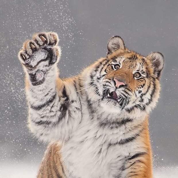 Шикарные портреты больших кошек, которые никого не оставят равнодушным большие кошки, животные, забавные животные, кошки, портреты животных