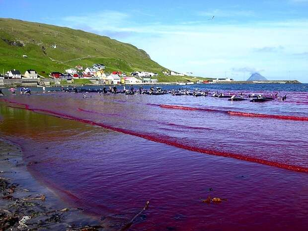 https://360tv.ru/media/uploads/article_images/2018/07/7318_800px-Hvalba_beach_whaling_Faroe_Islands.jpg