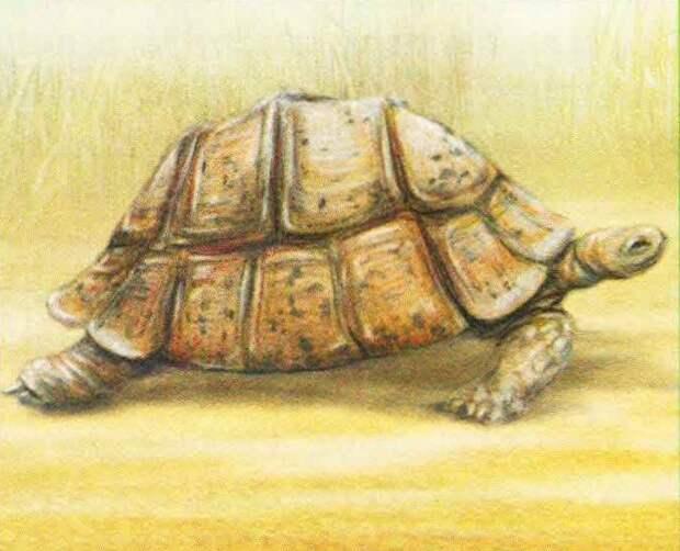 Пантеровая черепаха  (Geochelone pardalis).