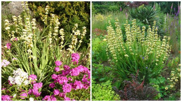 Слева сисиринхий полосатый с флоксами в моем объективе, справа он акцент всей композиции, фото сайта extremeknittingredhead.blogspot.com