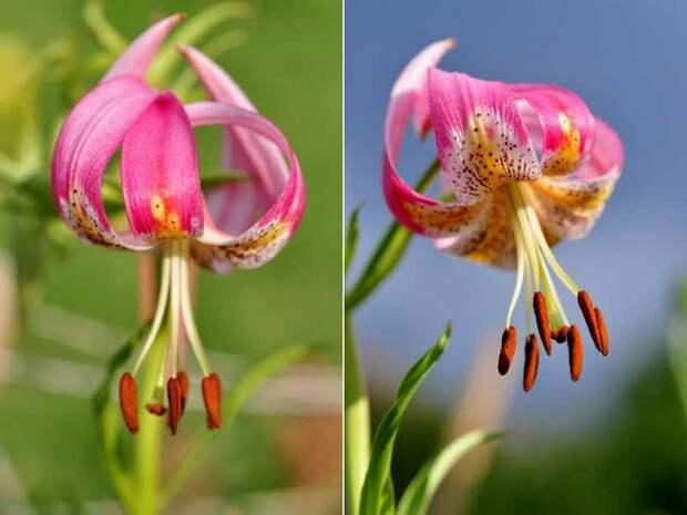 Американский гибрид лилии сорт Лейк Тулар фото (Lake Tulare)