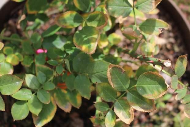 Краевое повреждение листа у роз из-за дефицита калия. После подкормки все новые листья росли здоровыми.