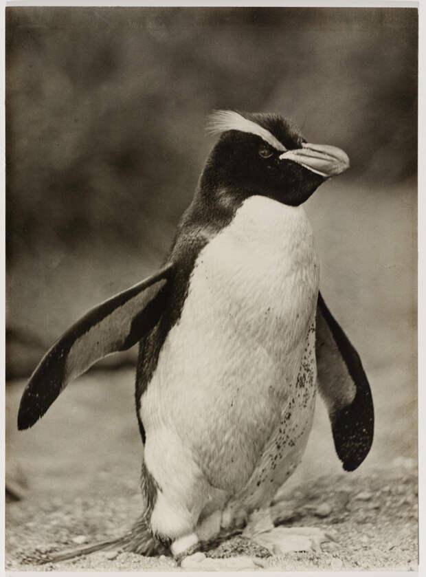 Первая Австралийская антарктическая экспедиция в фотографиях Фрэнка Хёрли 1911-1914 38