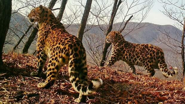 Брачные игры дальневосточных леопардов попали на видеозапись в Приморье