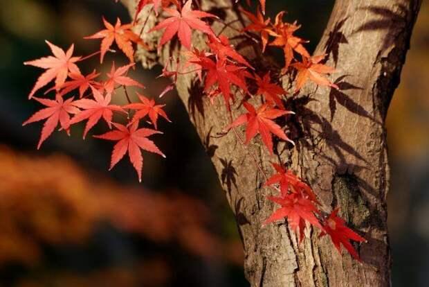 Деревья и кустарники с фиолетовой и красной листвой