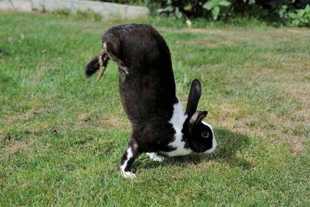 Из-за неудачной селекции появились кролики, которые ходят на передних лапах