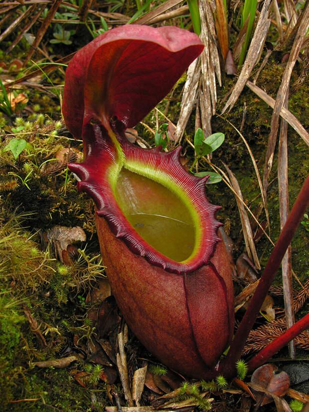 Непентес Аттенборо - гигантское плотоядное растение, названое в честь одного из самых известных натуралистов мира Сэра Дэвида Фредерика Аттенборо.