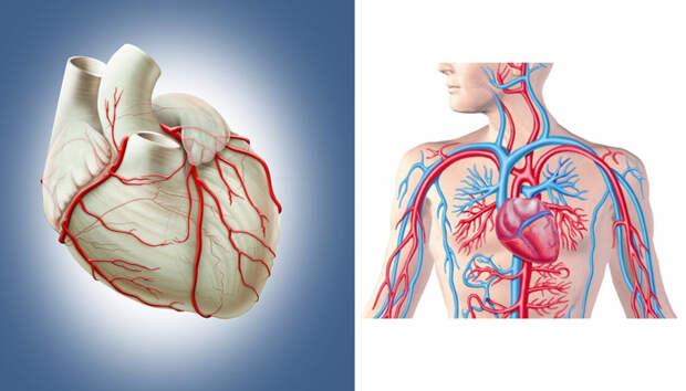 Самые важные витамины и минералы для здоровья сердечно-сосудистой системы