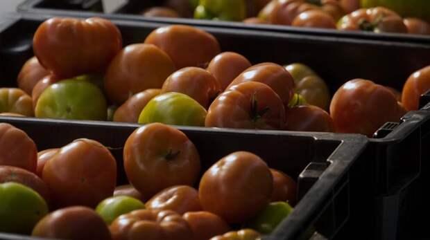 80% крымских томатов раскупают в других регионах России