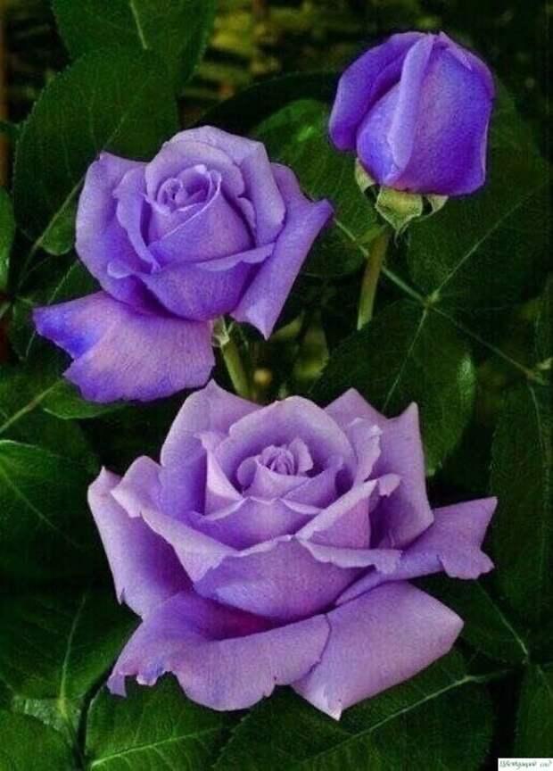О том, как правильно обрезать розы: 5