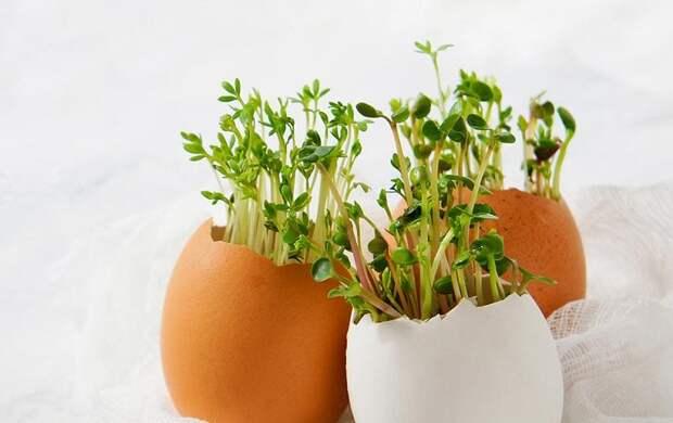 Выращивание кресс-салата в яичной скорлупе