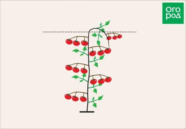 Формирование томата индетерминантного сорта