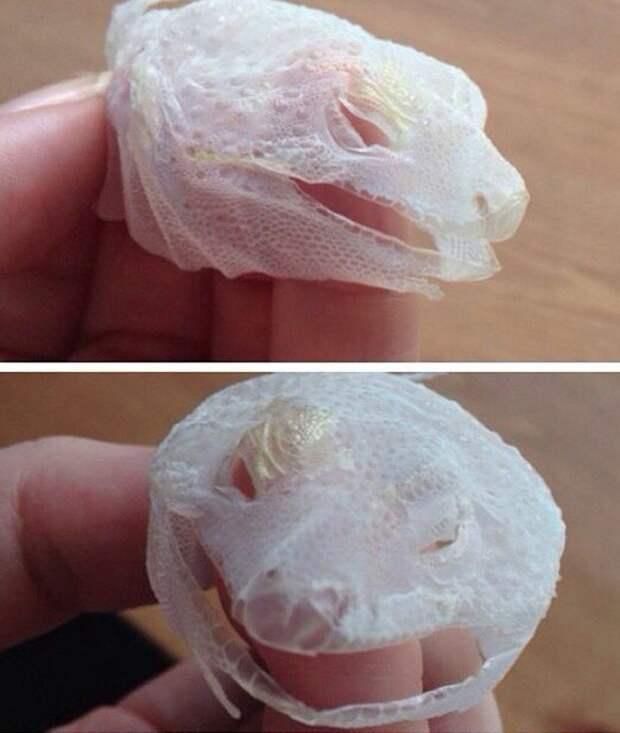 Ящерица отбросила свое «лицо» целиком одним движением интераесное, факты, фото