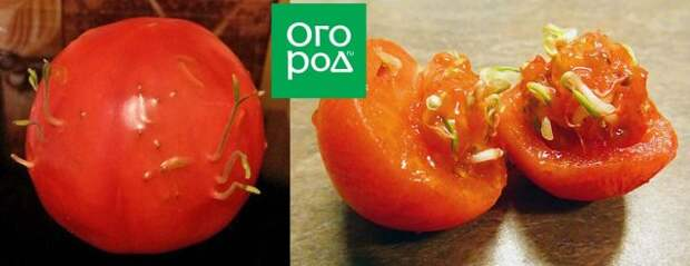 Семена проросли внутри томата