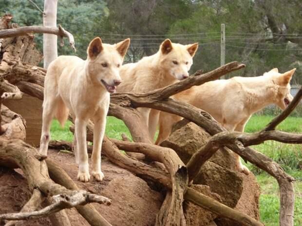Собака-Динго-Описание-и-образ-жизни-динго-7