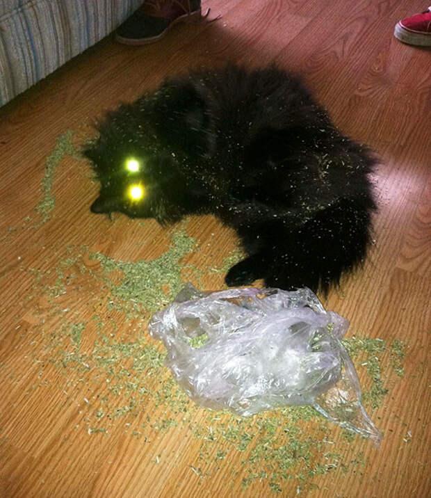 Нашел банку с кошачьей мятой, пока хозяев не было дома животные, забавно, изменение сознания, кошачья мята, кошки, растения, смешно, фото